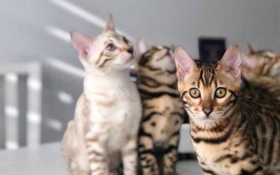 10 rzeczy których nie wiedziałeś o kotach bengalskich